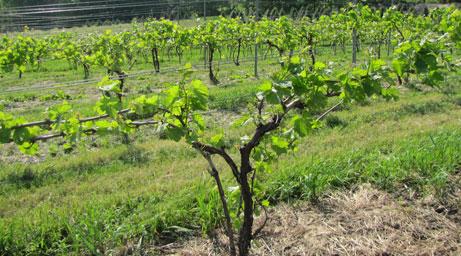 Indiana Agricultural Fencing | Vineyard Trellis